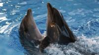 Crimean Military Dolphins to Serve in Russian Navy